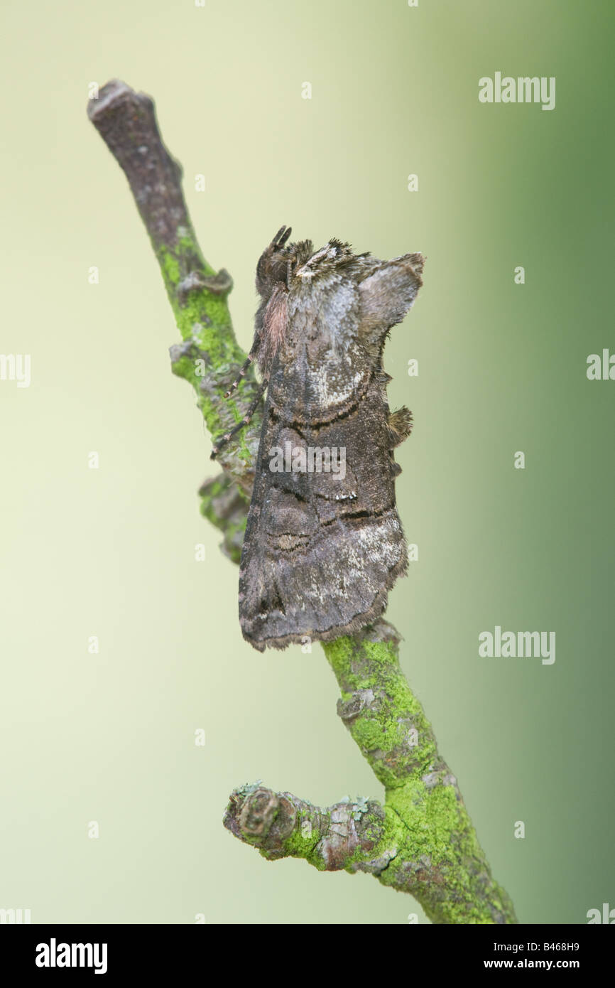 Spectacle Moth Abrostola tripartita adult at rest on a twig - Stock Image