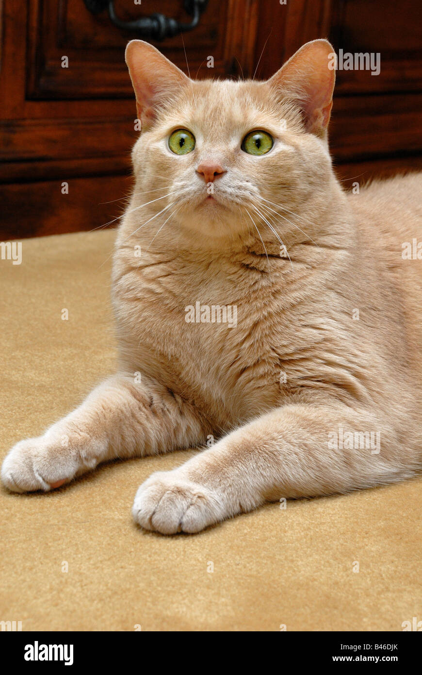 This beautiful orange tabby cat looks alertly at something in the distance. - Stock Image