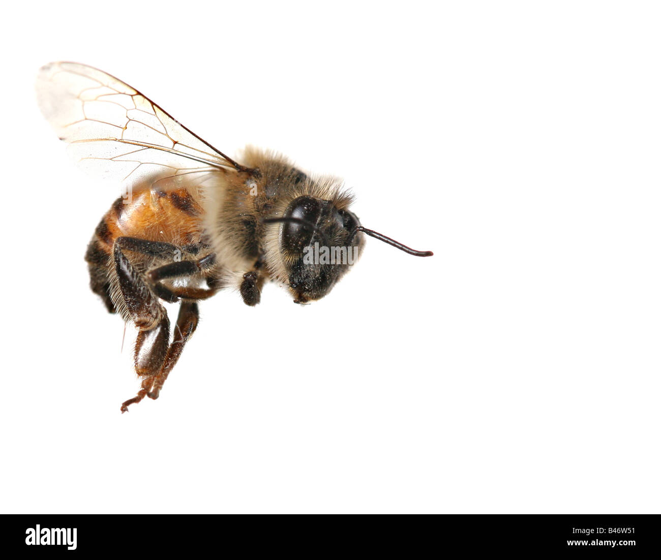 Macro Image of Common Honey Bee From North America Flying on White Background - Stock Image