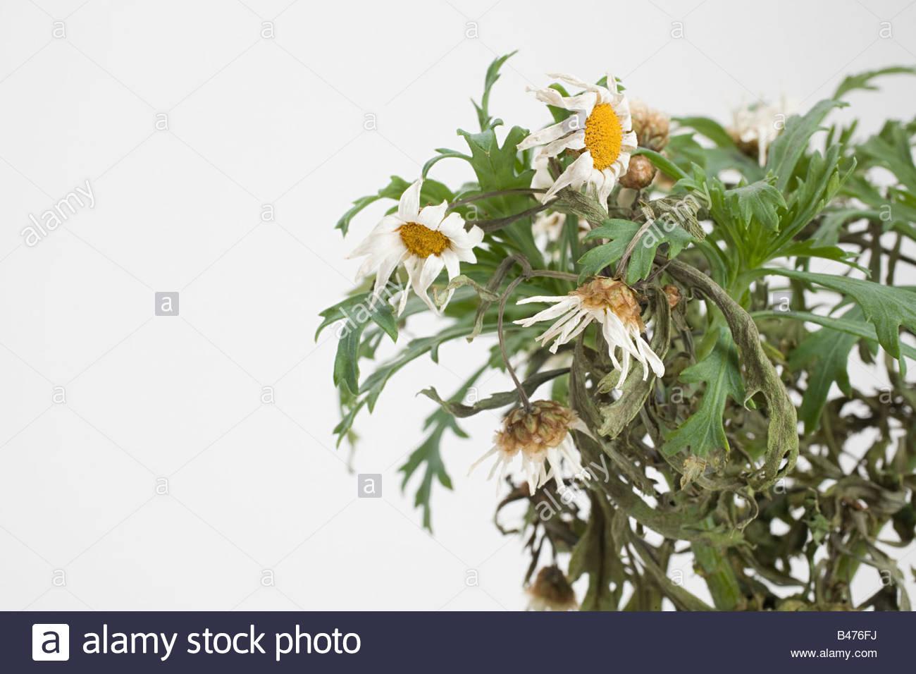 Dead daisies - Stock Image