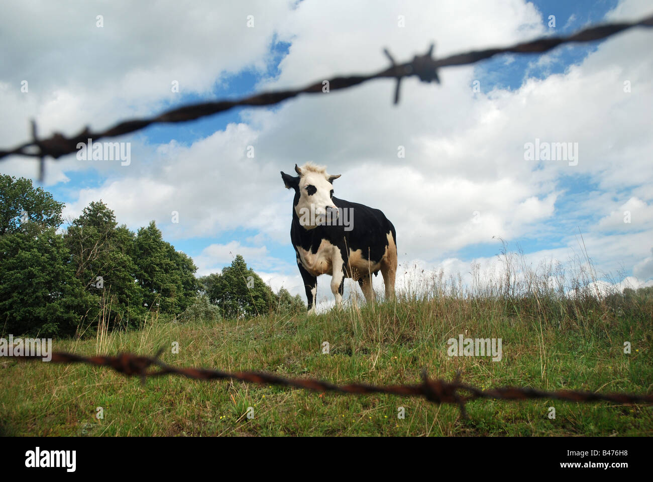 Cow on a pastureland, Masovia region in Poland Stock Photo