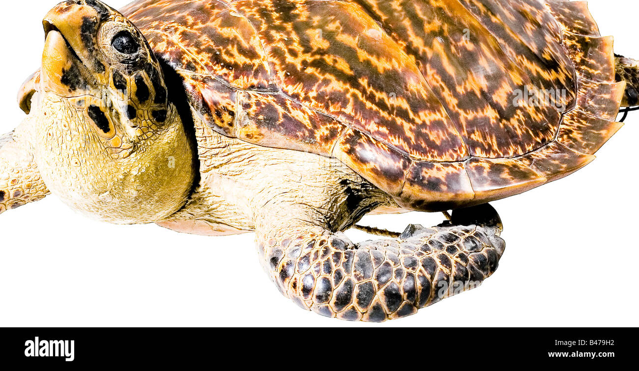 A genuine hawksbill turtle, (Eretmochelys imbricata). Prepared with the head (glass eyes) and limbs sticking out. - Stock Image