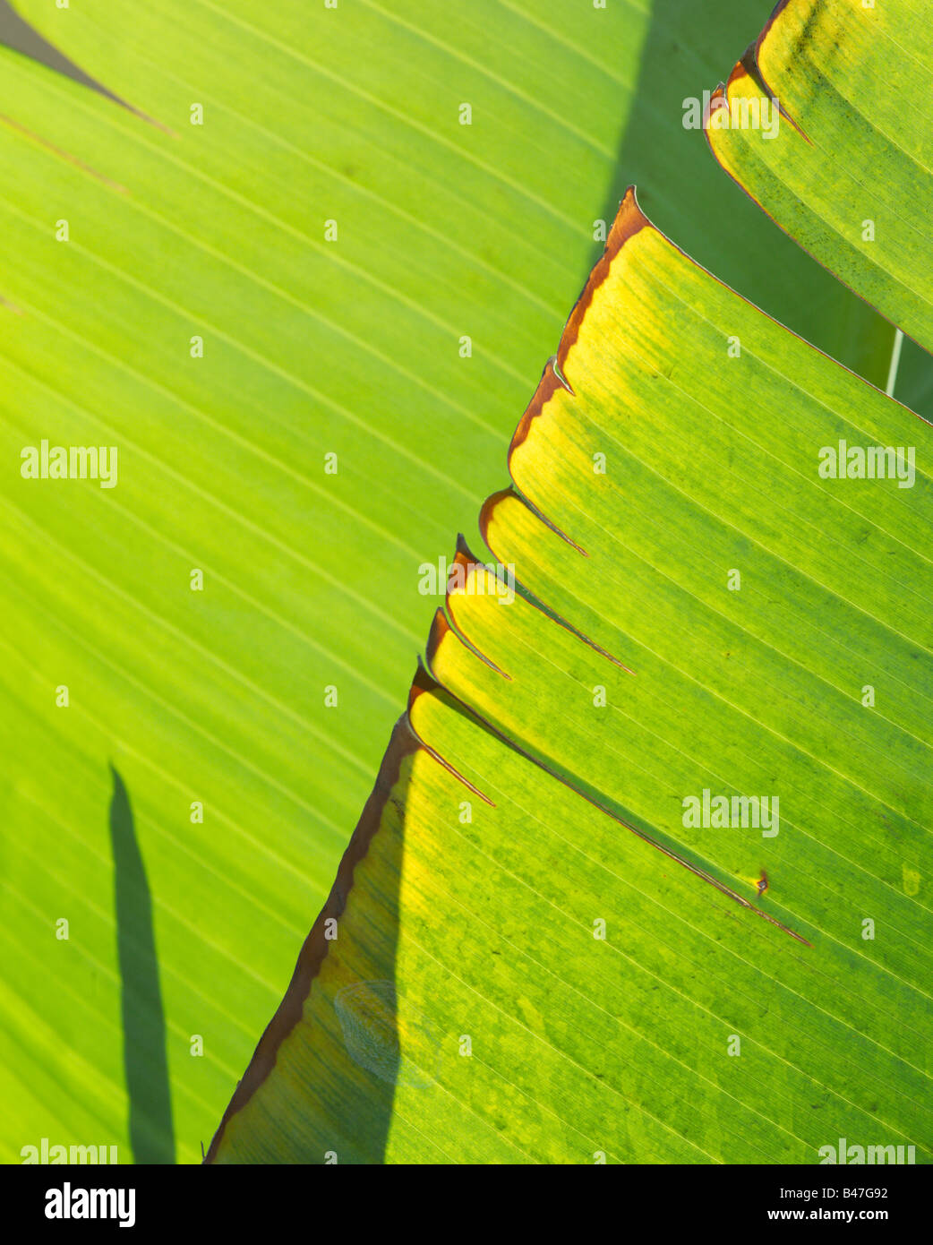 Banana leaves and shadows - Stock Image
