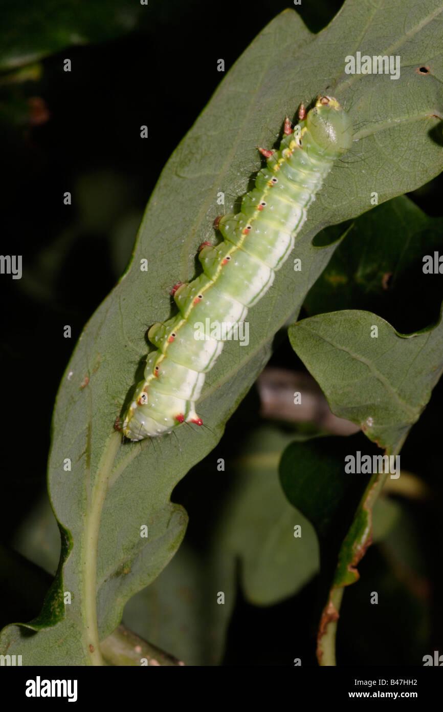 Coxcomb prominent moth caterpillar Ptilodon capucina Notodontidae on oak UK - Stock Image
