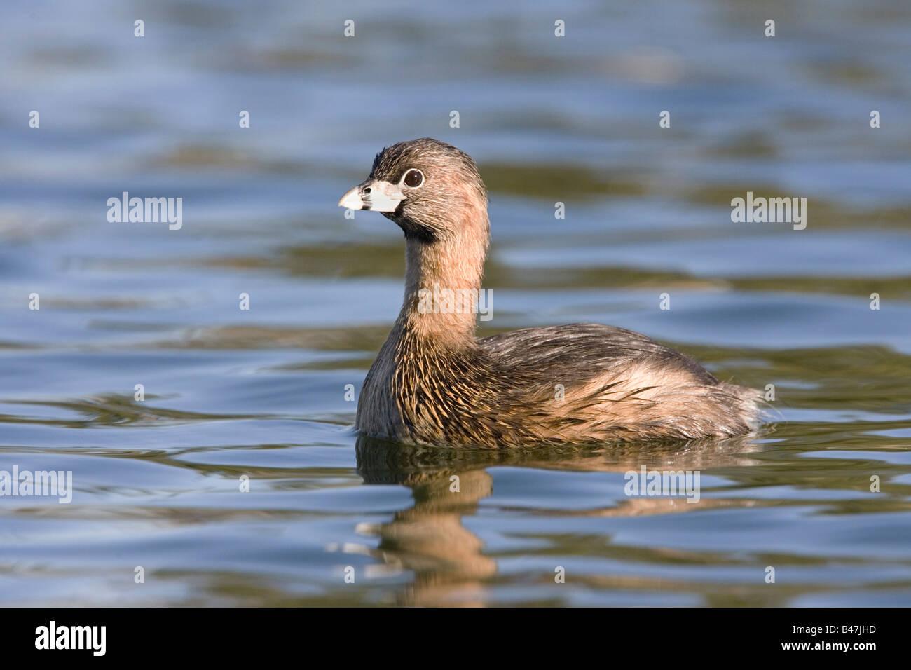Pied-billed Grebe Podilymbus podiceps - Stock Image