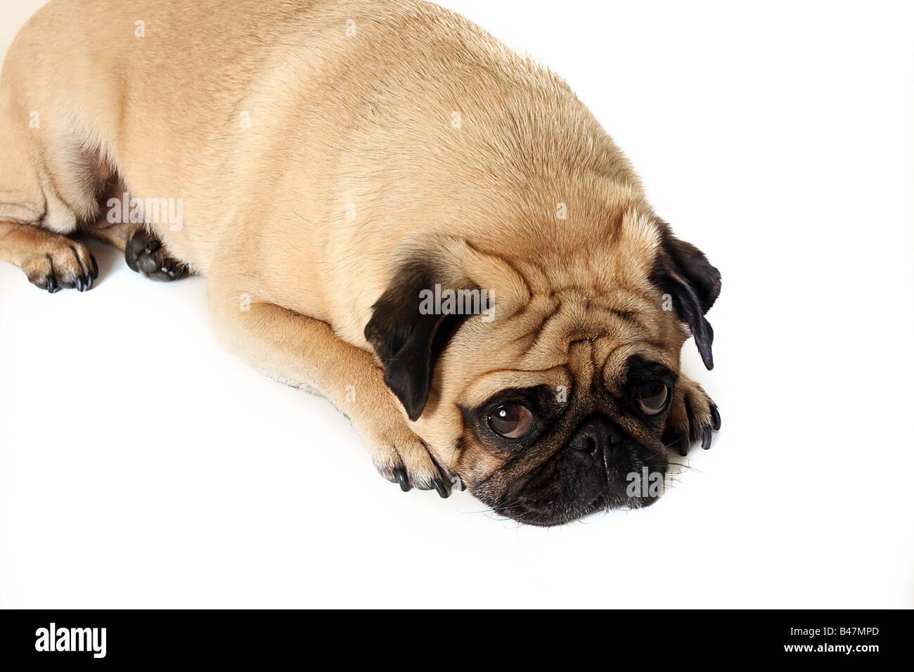 Closeup of a lonely Pug. - Stock Image