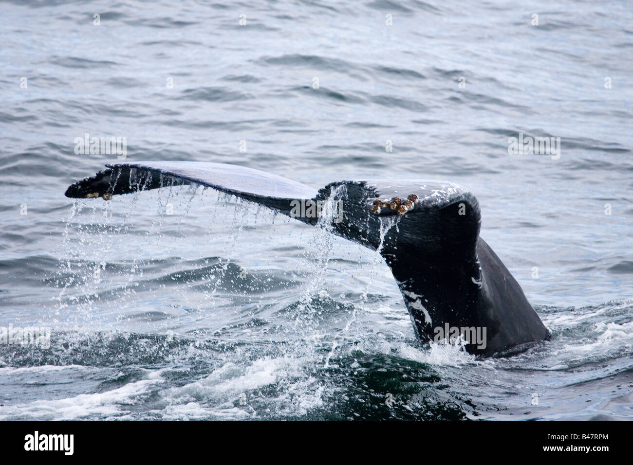 Tail of Humpbacked whale with barnacles off Cape Cod - Stock Image