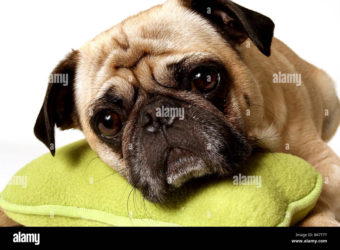 Closeup of a sad Pug. - Stock Image
