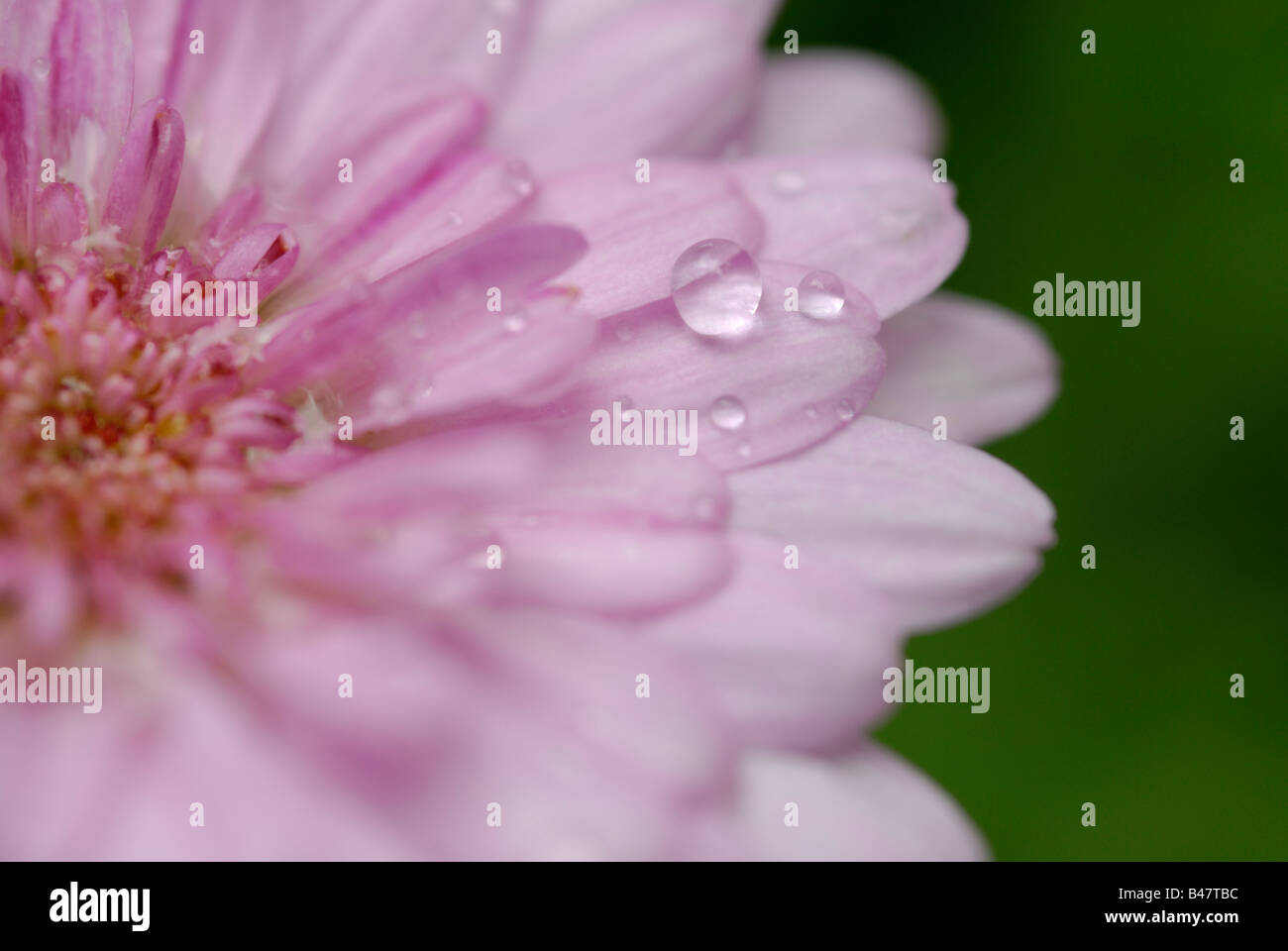 Pink Daisy with a water droplet on its petal. - Stock Image