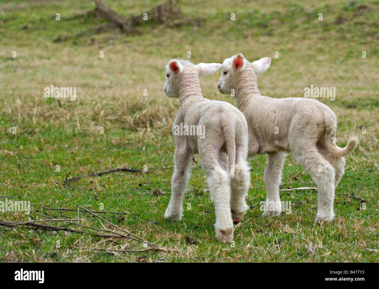 two cute lambs are leaving and walk away - Stock Image