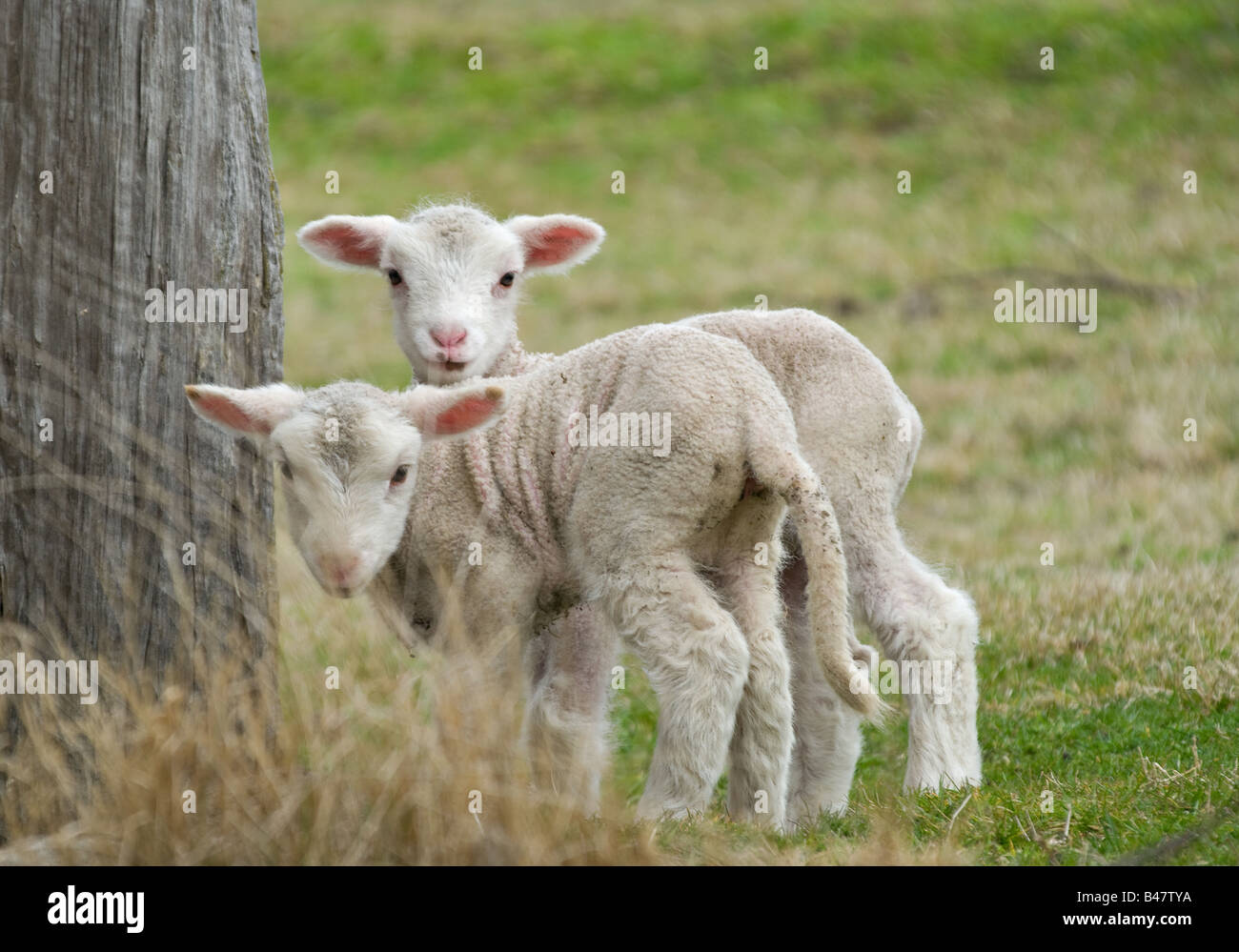 two cute and adorable shy lambs on the farm - Stock Image