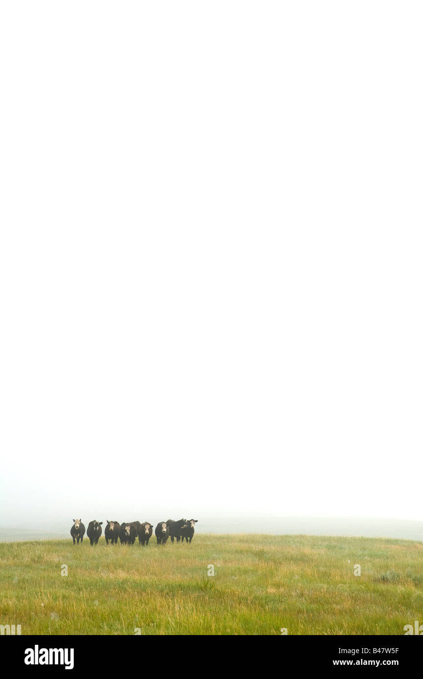 Cattle in North Dakota Missouri River Stock Photo