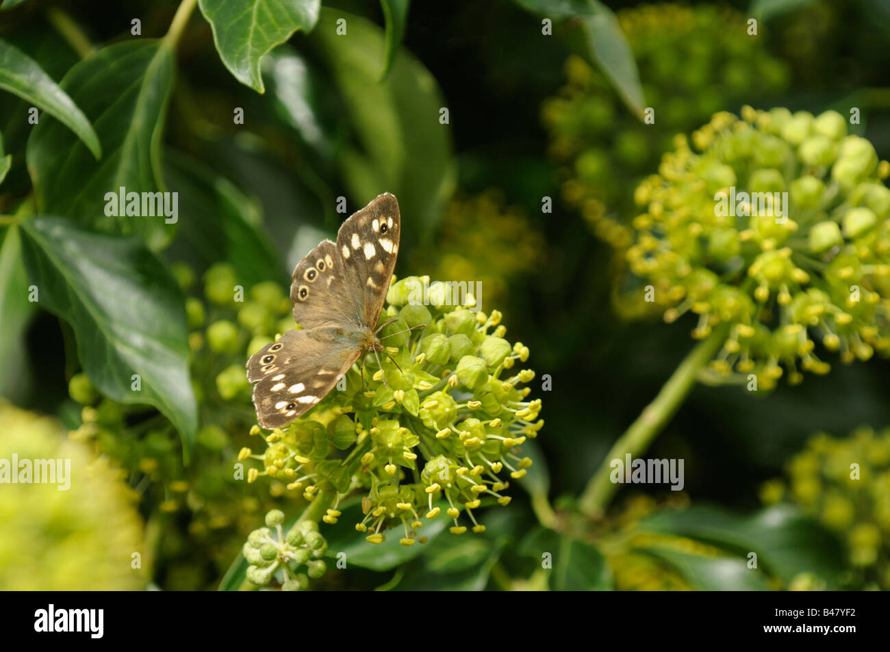 Butterfly speckled wood pararge aegeria feeding on Common Ivy Hedera helix Norfolk UK September - Stock Image