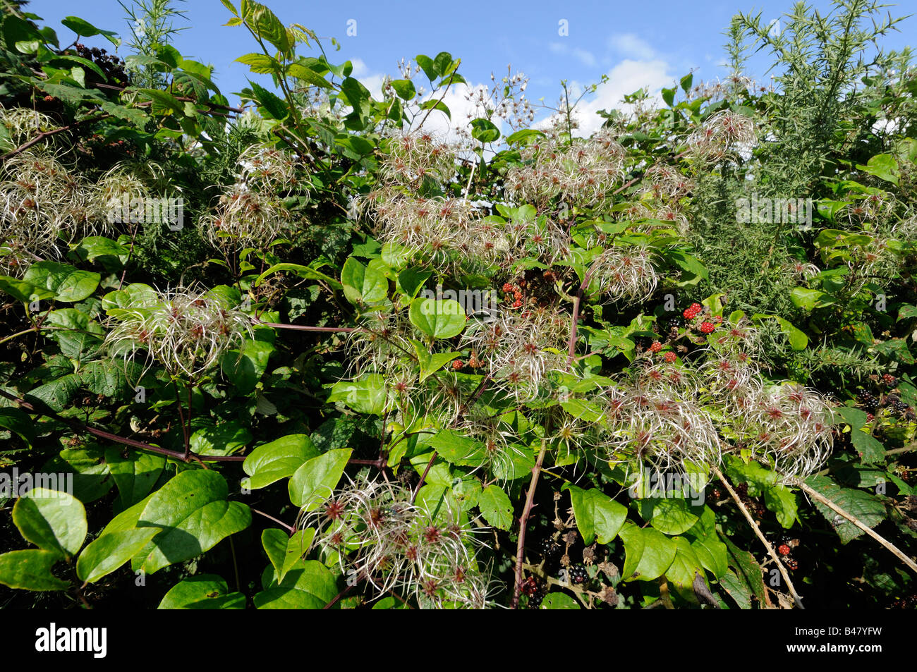 Clematis vitalba old mans beard travellers joy growing in hedgerow showing seed head plumes Norfolk UK September - Stock Image