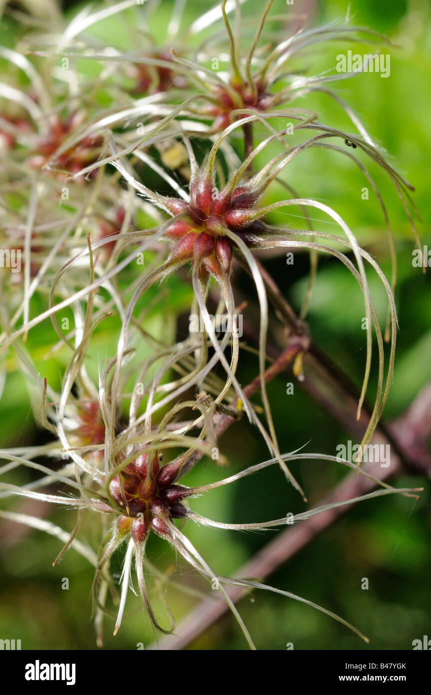 Clematis vitalba seed heads - Stock Image