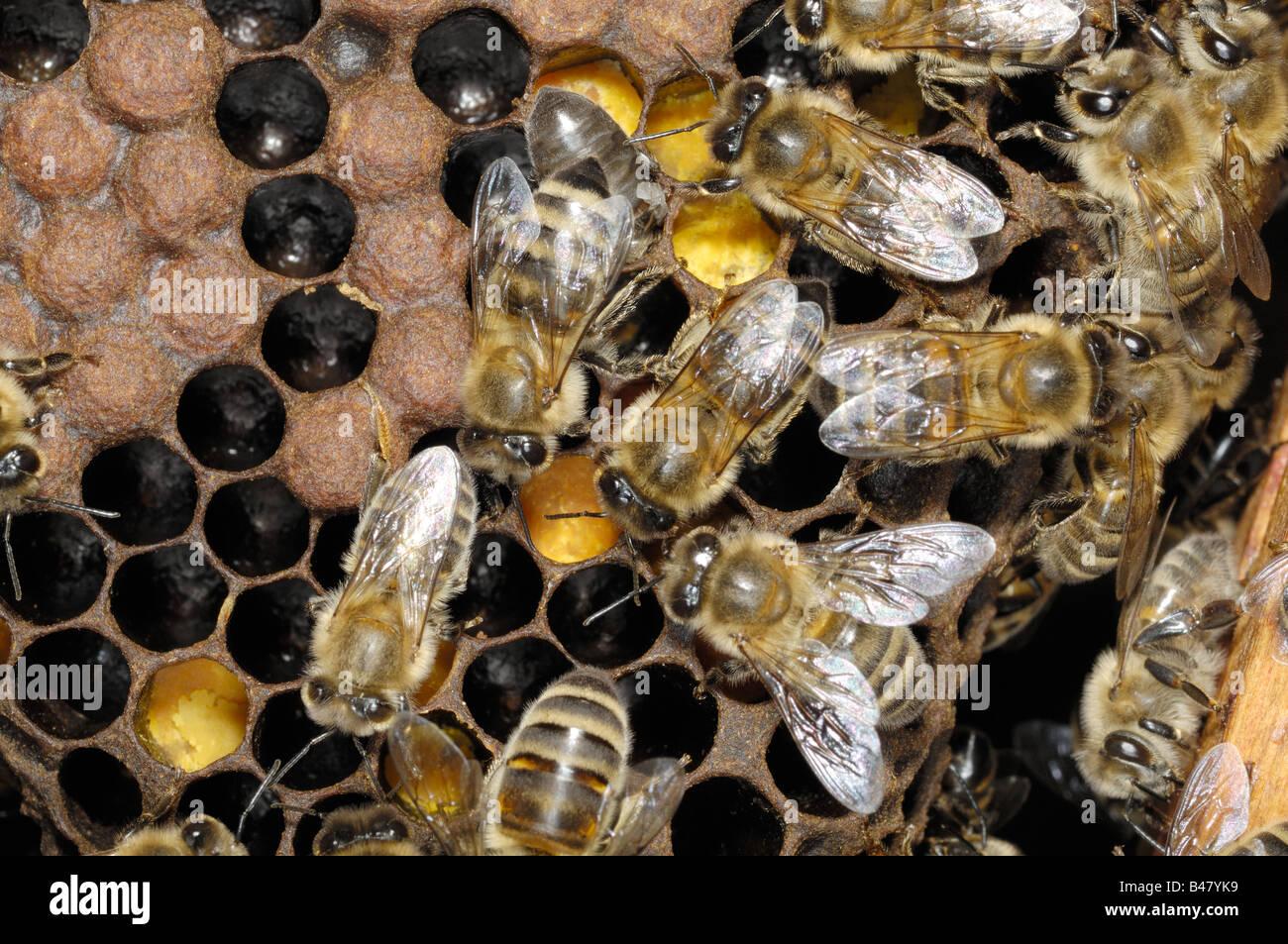 Western or European Honey bee brood chamber Norfok UK September - Stock Image