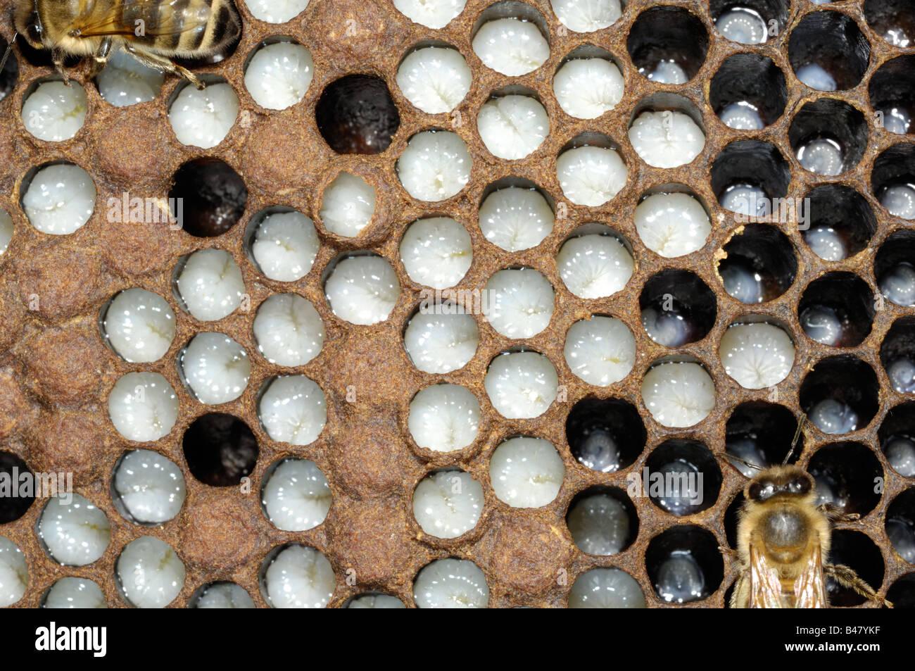 Western or European Honey bee brood chamber showing larvae Norfok UK September - Stock Image