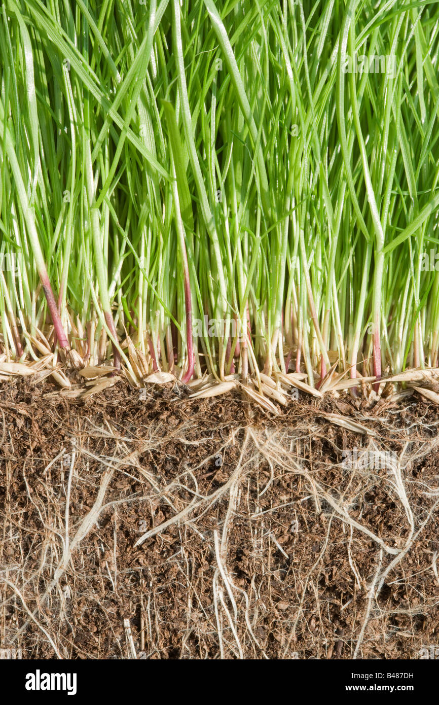 Grass germinating, showing roots underground - Stock Image