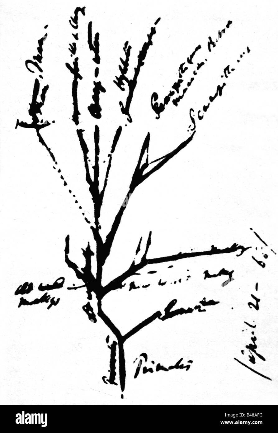 Darwin, Charles Robert, 12.2.1809 - 19.4.1882, British naturalist, graphical draft of the primate`s genealogical - Stock Image