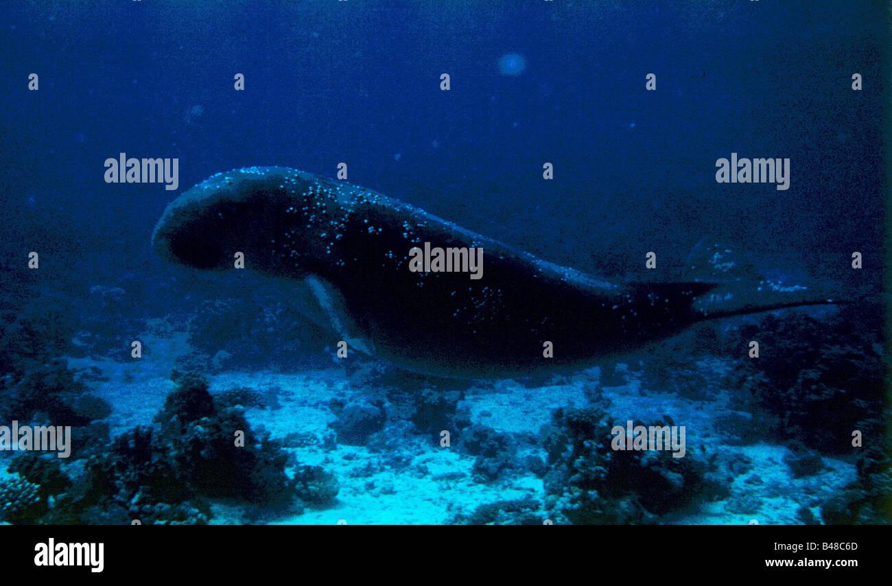 zoology / animals, mammal / mammalian, Sirenia, , Additional-Rights-Clearance-Info-Not-Available - Stock Image
