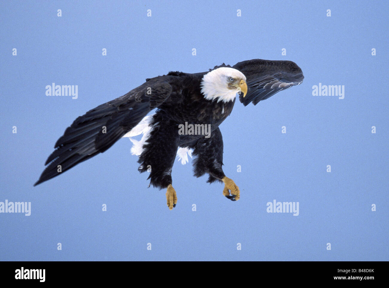 zoology / animals, avian / bird, Accipitridae, Bald Eagle (Haliaeetus leucocephalus), flying, Homer, Alaska, USA, - Stock Image
