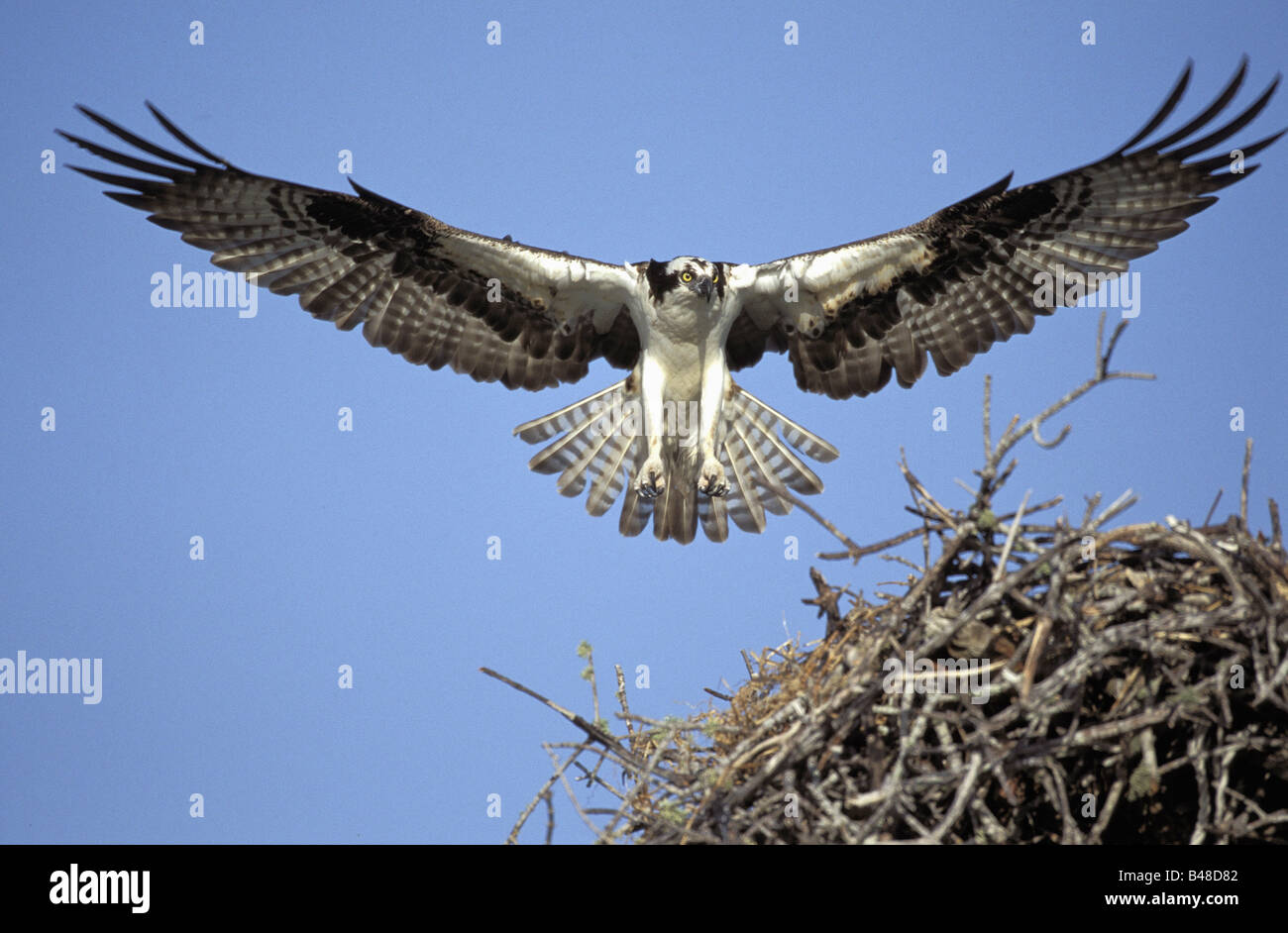zoology / animals, avian / bird, Pandionidae, Osprey (Pandion haliaetus), flying towards nest, Sanibel Island, Florida, - Stock Image