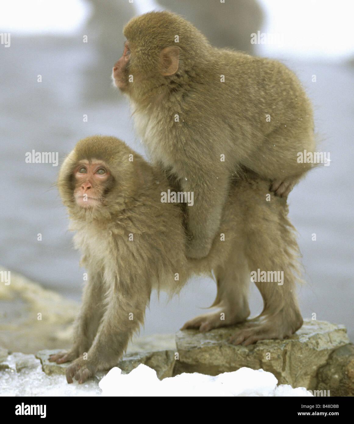 zoology / animals, mammal / mammalian, monekys, Japanmakak, (Macaca fuscata), cub playing, 'Joshin-Etsu Kogen - Stock Image