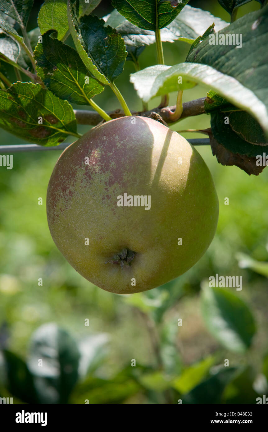 ROSEMARY RUSSET apples growing in the orchard - Stock Image