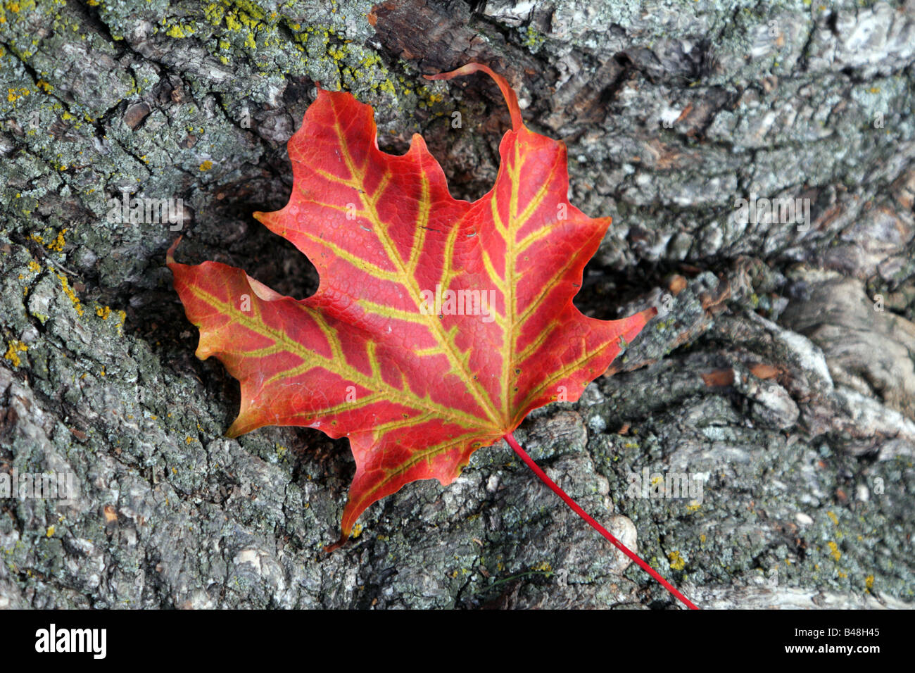 One sugar maple leaf on maple tree bark in Toronto Canada - Stock Image