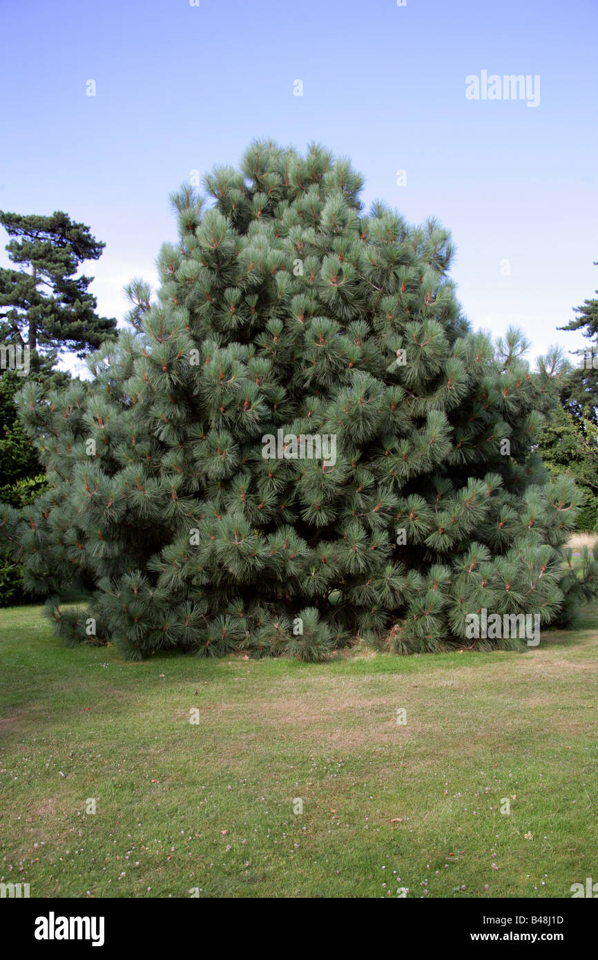 Coulter Pine or Big-cone Pine Tree, Pinus coulteri, Pinaceae, California and North West Mexico. - Stock Image