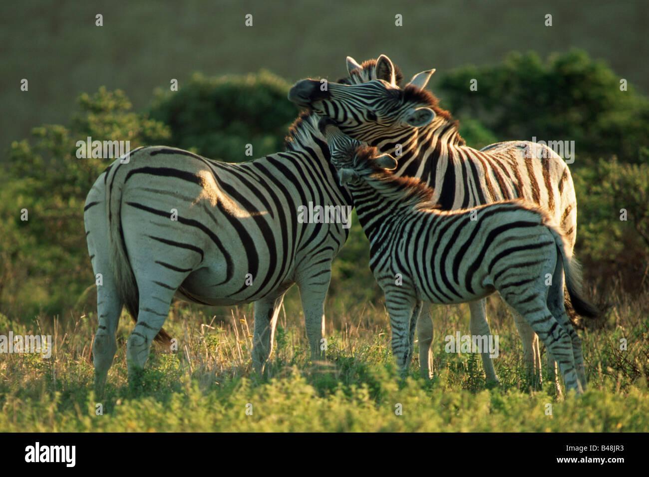 Steppenzebra Familie Mpongo Park Suedafrika Afrika Stock Photo