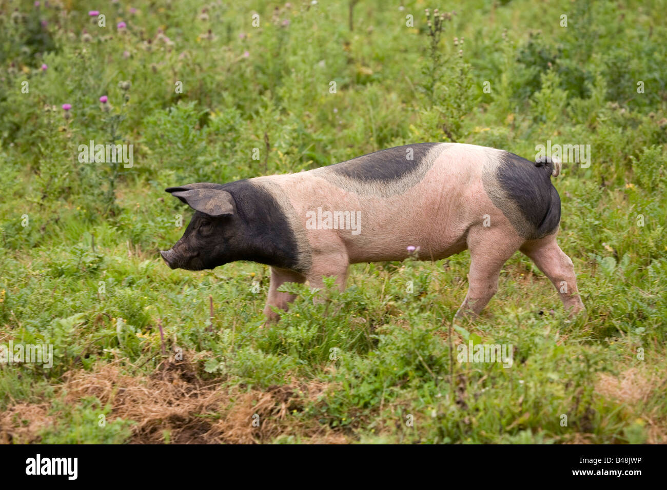 Forum on this topic: How to Transport Piglets (for the Smallhold , how-to-transport-piglets-for-the-smallhold/