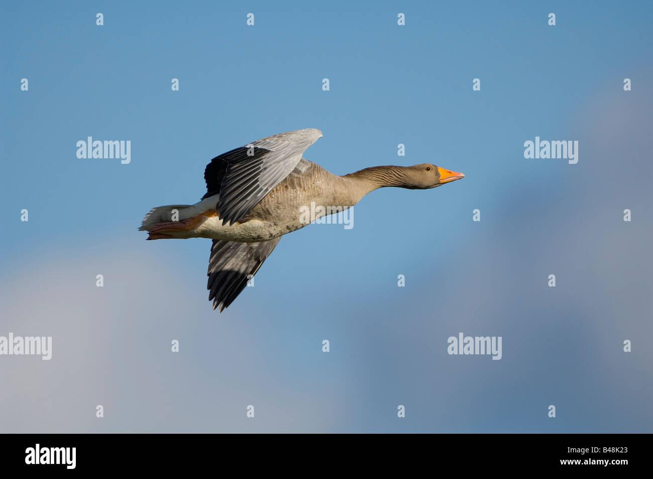 Graugans Grey lag Goose Anser anser Stock Photo