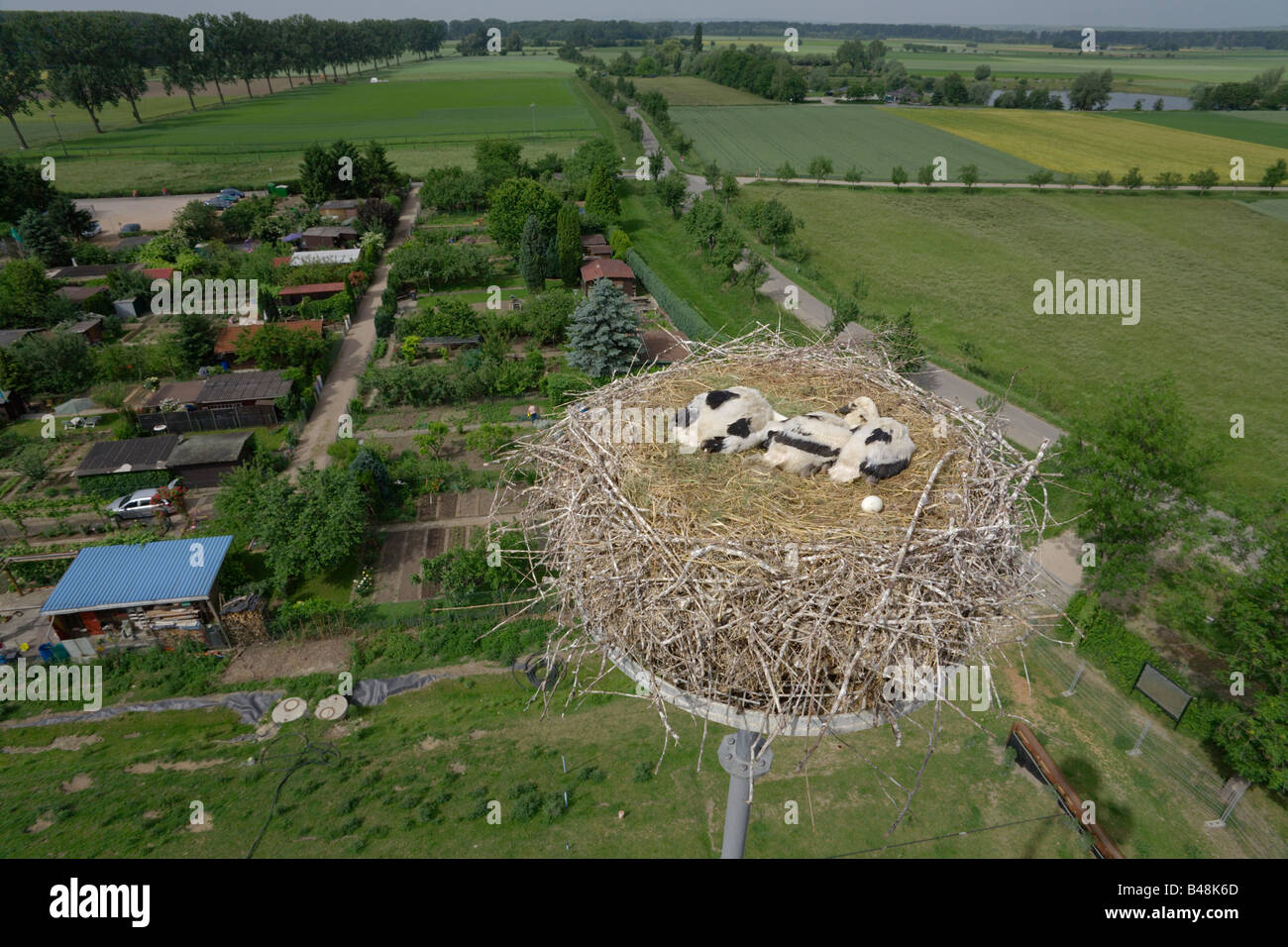 white stork nestling on a nest in 26 meter height chick youngster six look from above the nest Germany - Stock Image