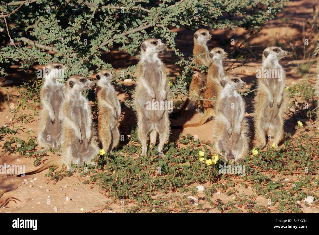 suricate Erdmaennchen South Africa Suedafrika suedafrikanische tierwelt - Stock Image