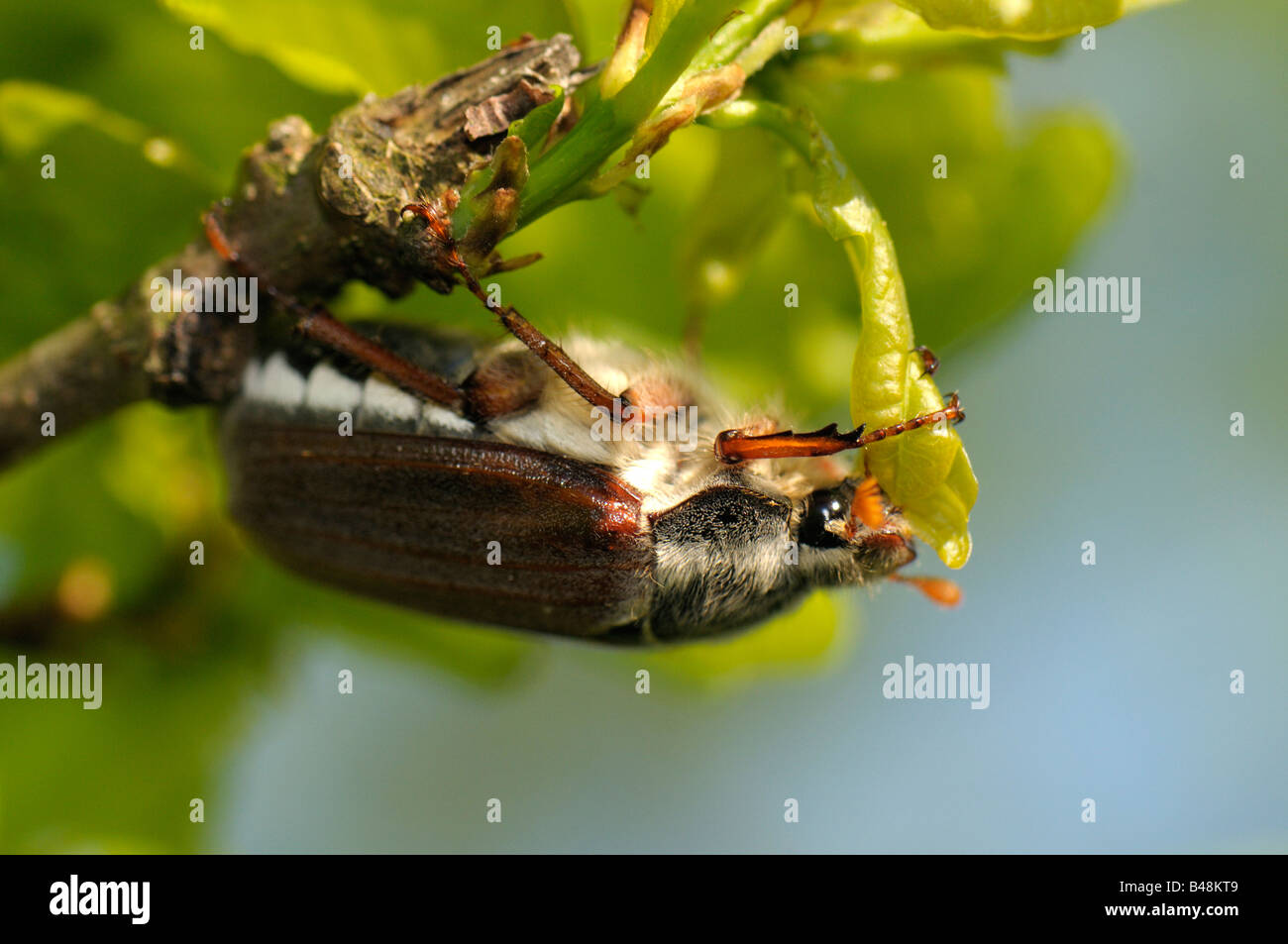Common Cockchafer, Maybug (Melolontha melolontha) eating a fresh Oak leaf Stock Photo