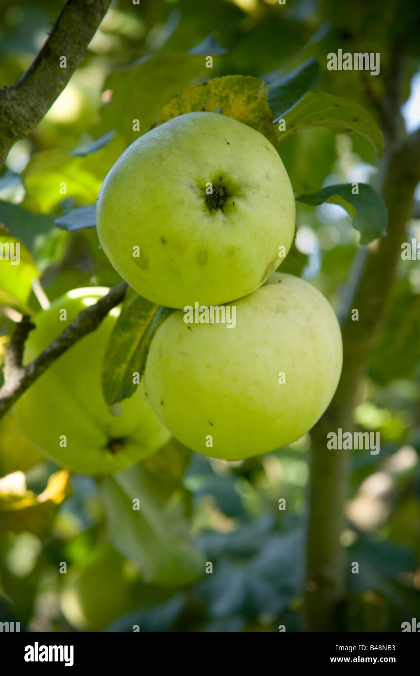 REV W WILKS apples growing in the orchard - Stock Image