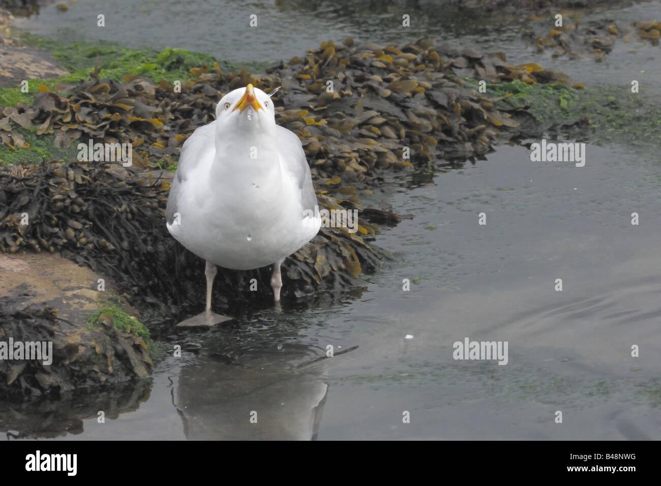 Larus argentatus gabbiano reale laridae gocce d'acqua waterdrops battigia England UK united kingdom Seahouses - Stock Image