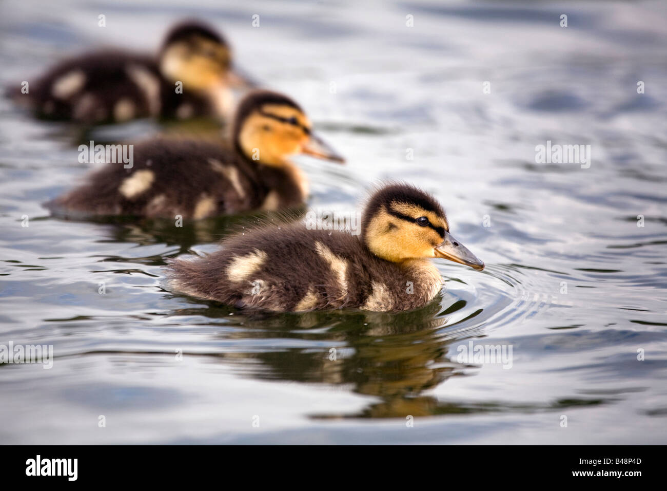 mallard ducklings Anas platyrhynchos swimming - Stock Image