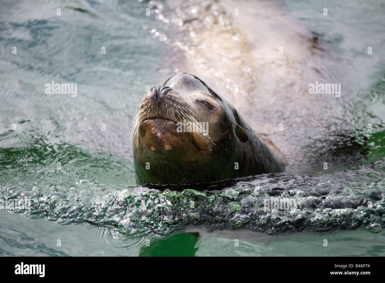 californian sea lion rocky Zalophus californianus rescued at national seal sanctuary cornwall - Stock Image