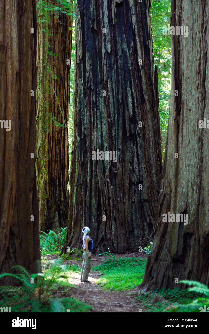 Tourist standing among giant redwoods in Stout Grove, Jedediah Smith Redwoods State Park, Del Norte County, California, - Stock Image