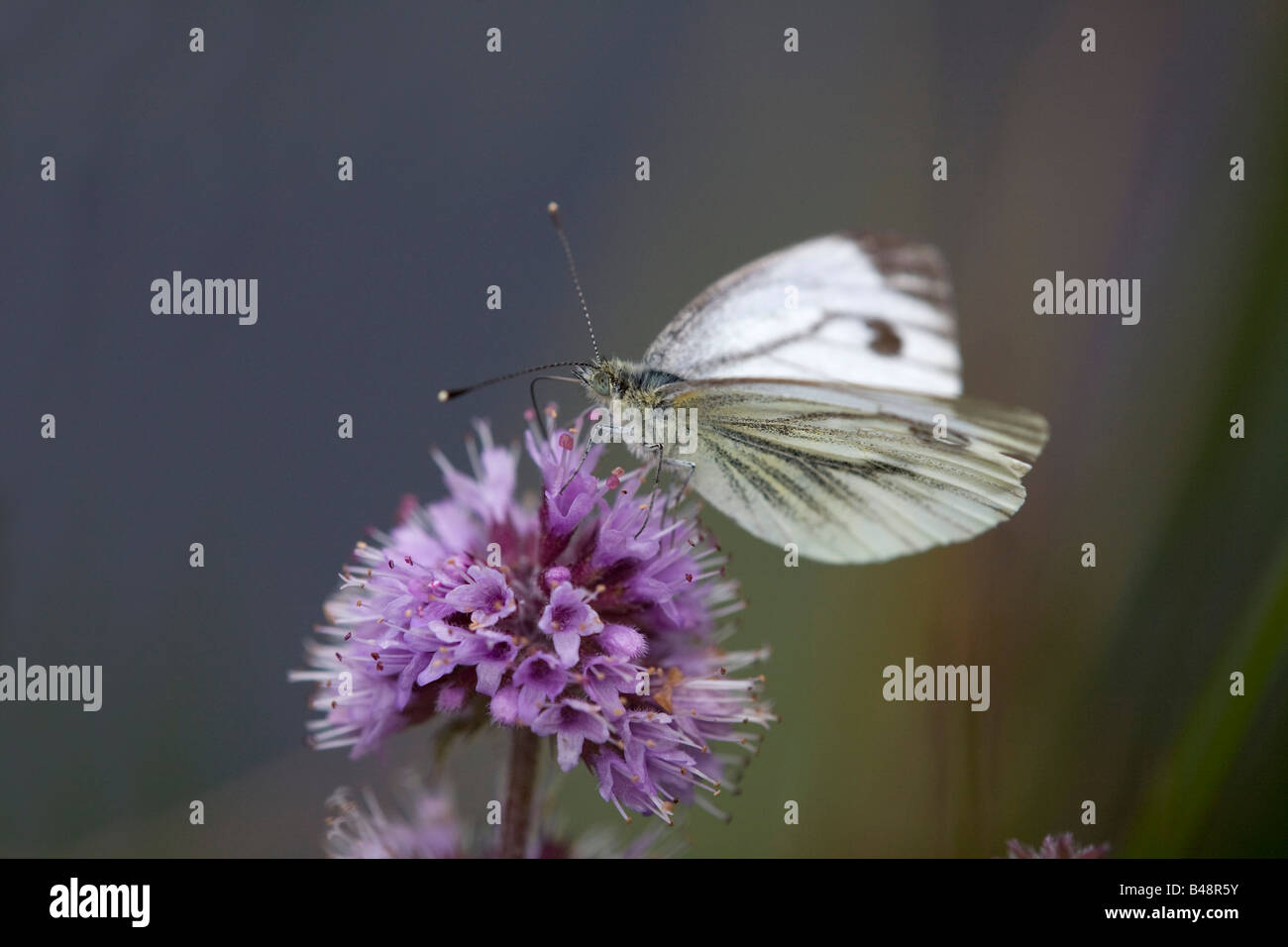 green veined white butterfly Artogeia napi - Stock Image