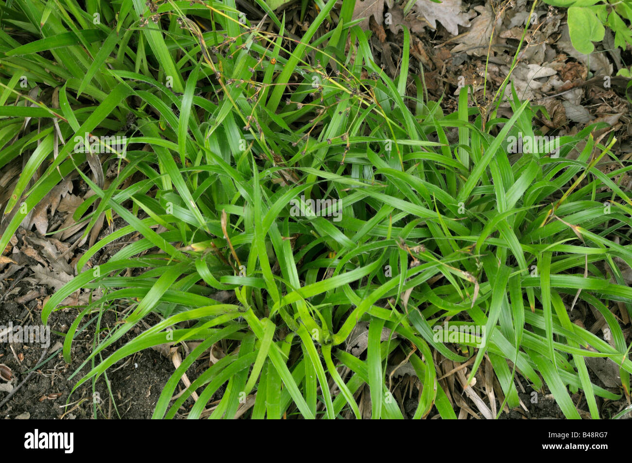 Great Wood Rush (Luzula sylvatica) - Stock Image