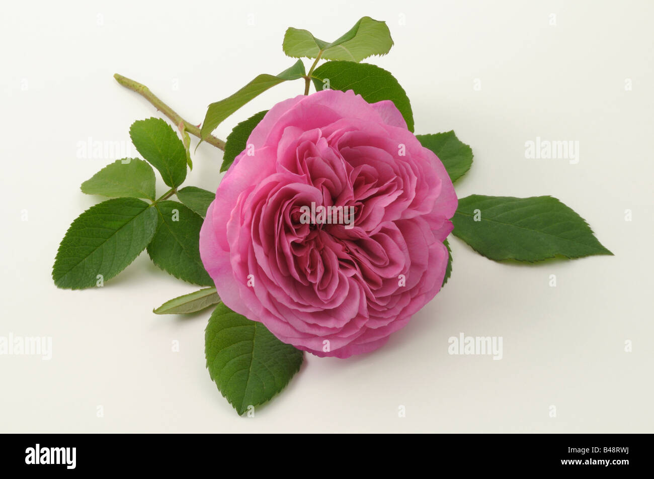 Damask Rose (Rosa x damascena), variety: Ispahan, flower, studio picture - Stock Image