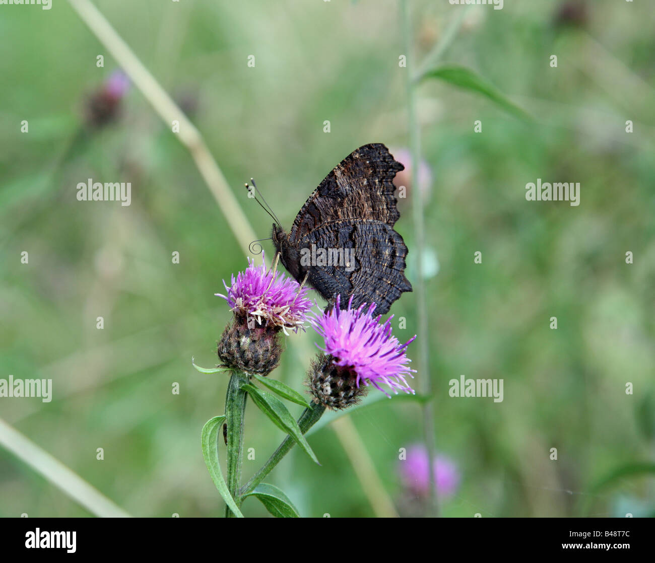 A Peacock (Inachis io) or (Nymphalis io) butterfly feeding on a Common Knapweed - Stock Image
