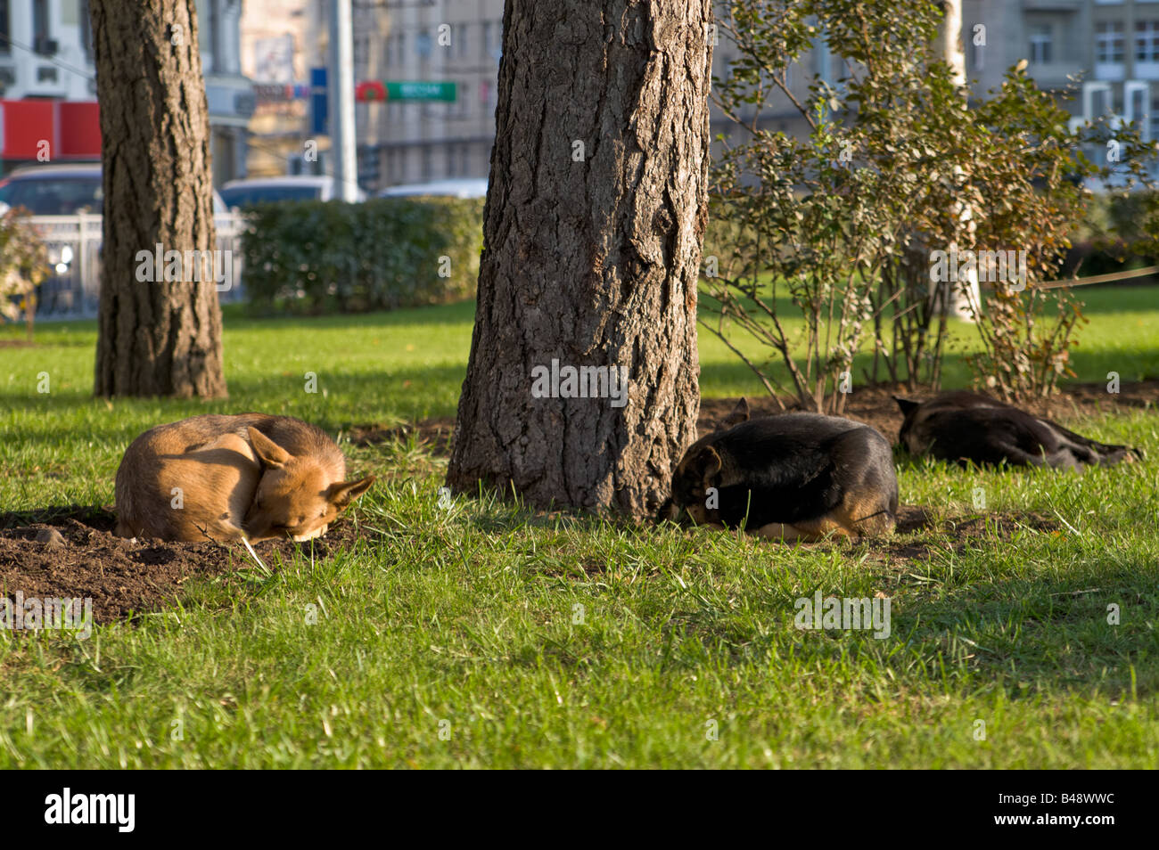 Stray dogs basking in the sun on a cold autumn morning in Moscow - Stock Image