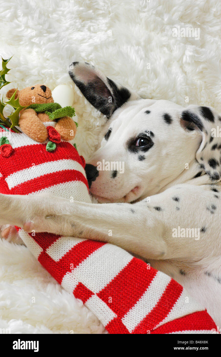 Dalmation Puppy with Christmas stocking - Stock Image