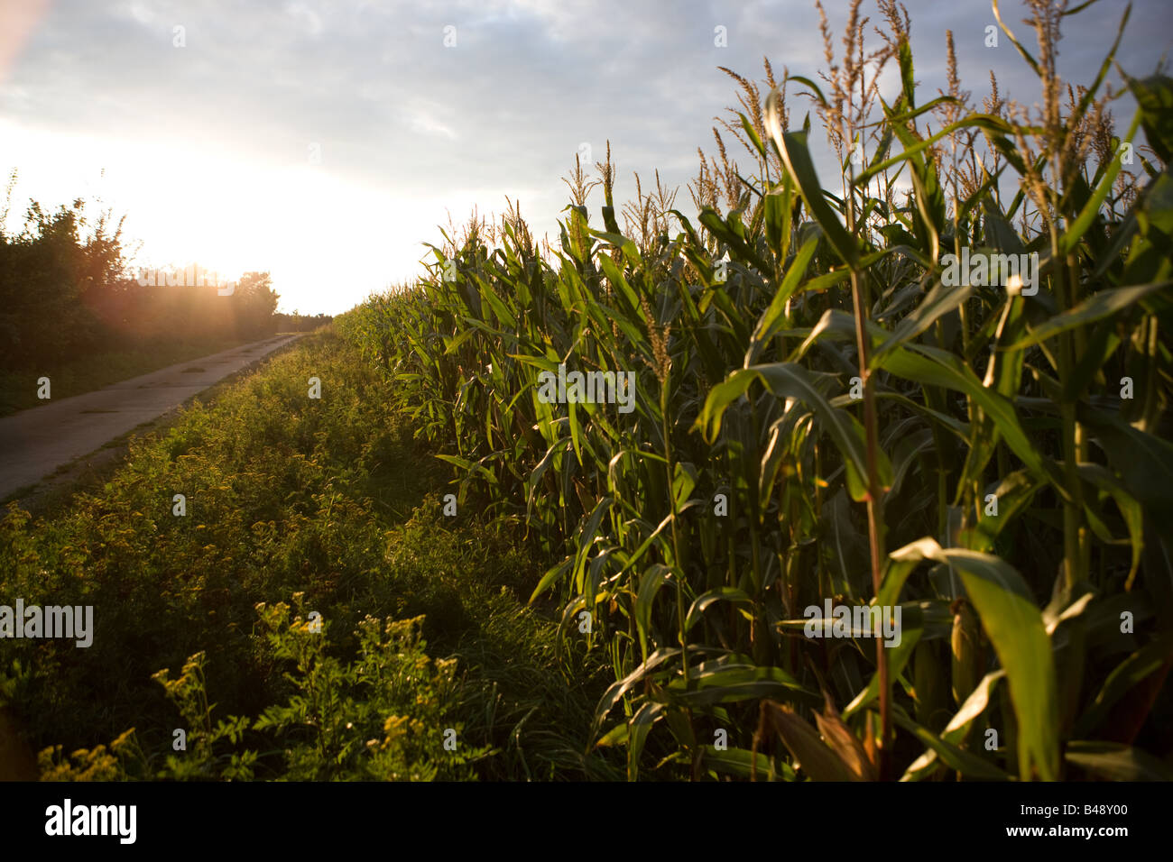 field of Maize in Germany - Zea mays - Stock Image