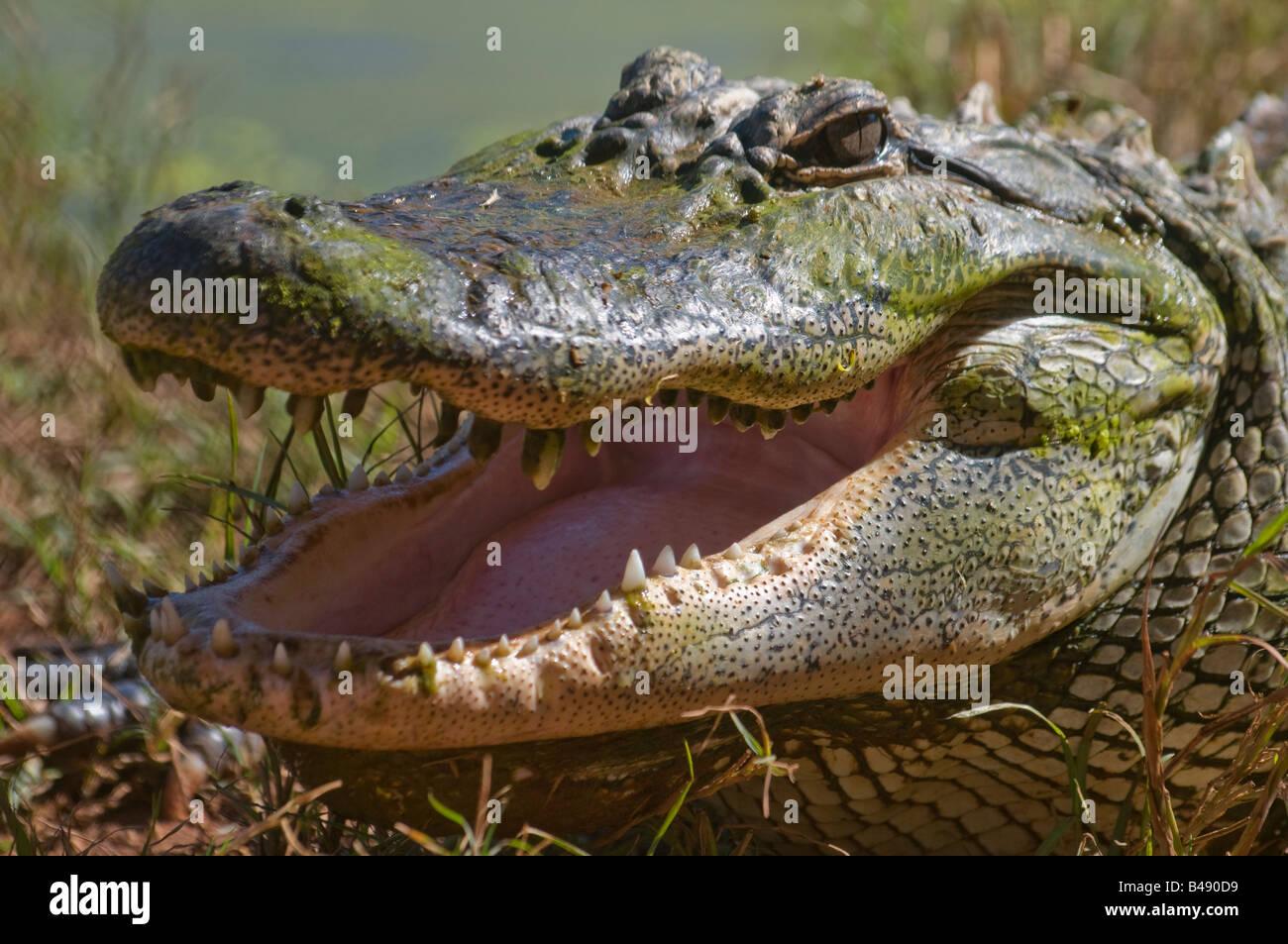 Australian Estuarine salt water crocodile Crocodylus porosus - Stock Image