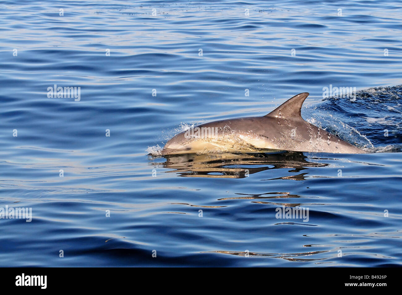 common dolphin delphinus delphis in european waters - Stock Image